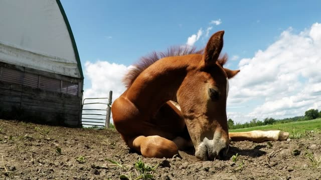 felix is a three week old foal with a very outgoing and happy personality he lives on a beautiful farm near peterborough ontario along with his... - week stock videos & royalty-free footage