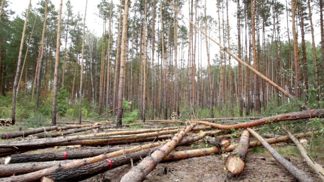 Felling of pine forest. Tree falls on the ground.
