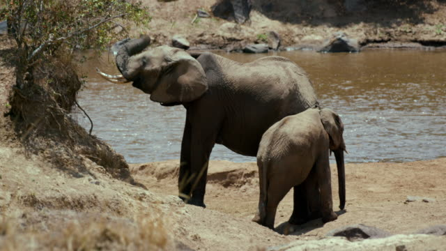 female african elephant & calf maasai mara  kenya  africa - female animal stock videos & royalty-free footage