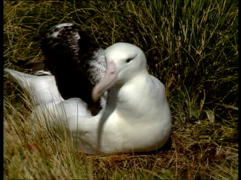 cu female albatross standing up from nest to reveal fluffy chick underneath, antarctica - guarding stock videos & royalty-free footage