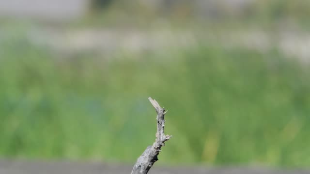 weiblichen american kestrel hocken und fliegen - habicht stock-videos und b-roll-filmmaterial