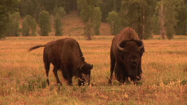 ms, female and male american bison (bison bison) walking in field, grand teton national park, wyoming, usa - grand teton national park stock videos & royalty-free footage