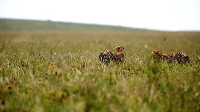weibliche und männliche geparden jagen - kenia stock-videos und b-roll-filmmaterial