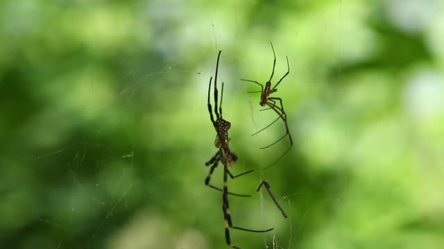 female and male joro spiders (trichonephila clavata, nephila clavata) - south korea couple stock videos & royalty-free footage