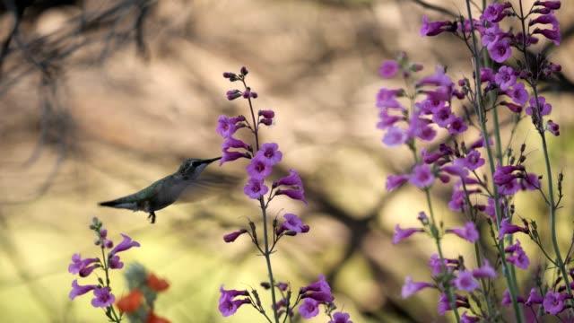 female anna's hummingbird - hummingbird stock videos & royalty-free footage