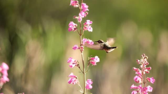 female anna's hummingbird - hummingbird stock videos and b-roll footage