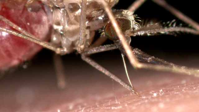 female anopheles gambiae feeding on human blood. - mosquito stock videos & royalty-free footage