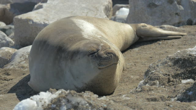 Female Antarctic Elephant Seal
