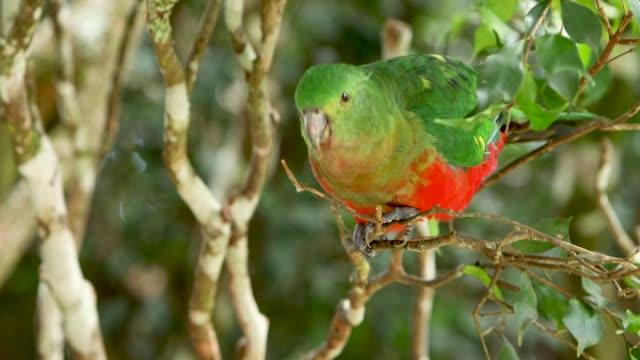Female Australia King Parrot