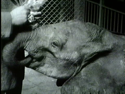 female baby elephant mtoto arrives at brookfield zoo on april 8, 1955. baby white monkey at brookfield zoo. - 1955 stock videos & royalty-free footage