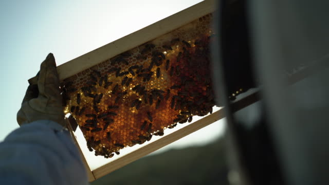 Female bee keeper taking care of her bees