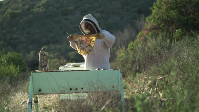 WS Female beekeeper looking at bees on a honeycomb