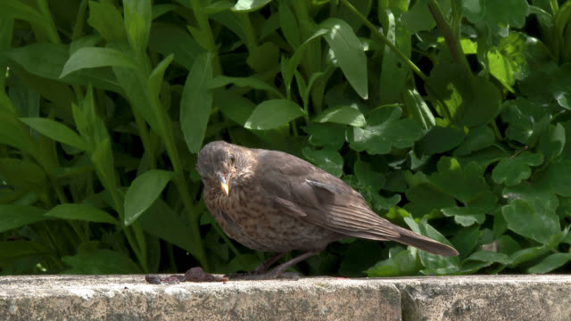 Female blackbird collecting food from a garden wall