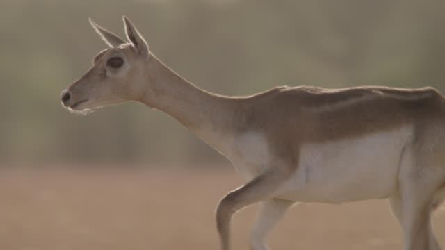 female blackbuck antelope (antilope cervicapra) runs on grassland, velavadar, india - antilope stock-videos und b-roll-filmmaterial