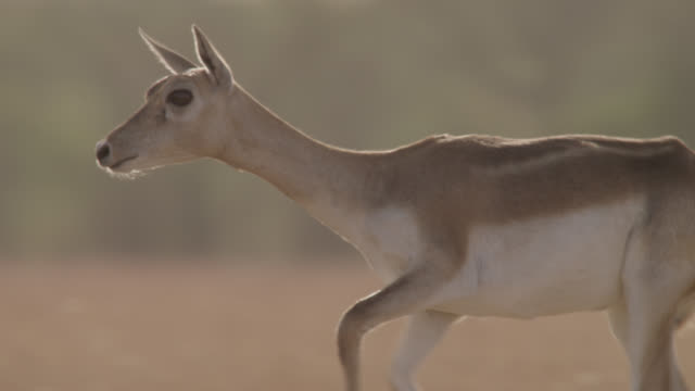 female blackbuck antelope (antilope cervicapra) runs on grassland, velavadar, india - antelope stock videos & royalty-free footage