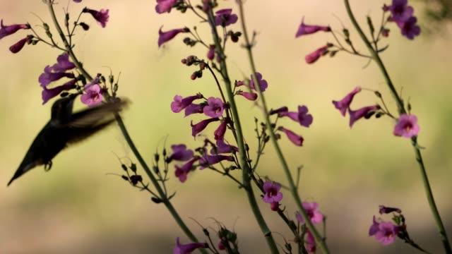 vídeos de stock e filmes b-roll de female black-chinned hummingbird - beija flor