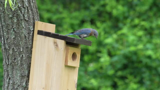 female bluebird enters birdhouse - birdhouse stock videos & royalty-free footage
