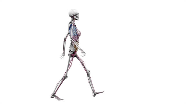 """Female body with organs, walking"""