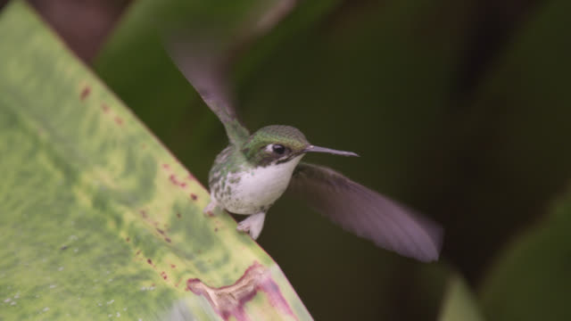 female booted racket tail hummingbird (ocreatus underwoodii), ecuador - tail stock videos & royalty-free footage