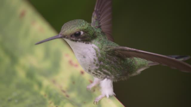 female booted racket tail hummingbird (ocreatus underwoodii), ecuador - racket stock videos and b-roll footage