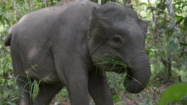 Female Bornean Pygmy Elephant eating grass close up