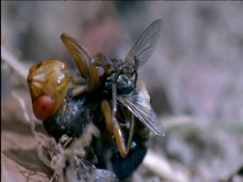 vídeos de stock e filmes b-roll de female botfly releases housefly after laying eggs onto it brazil - mosca doméstica
