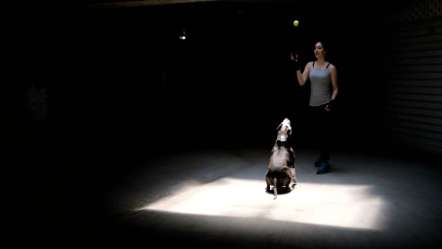 female boxer training cute dog stafford terrier - boxer dog stock videos and b-roll footage