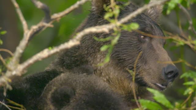 female brown bear breast-feeding the cub, kamchatka russia - braunbär stock-videos und b-roll-filmmaterial