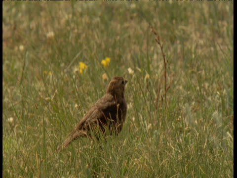 "vidéos et rushes de female brown headed cowbird looks around in field, montana - ""bbc natural history"""