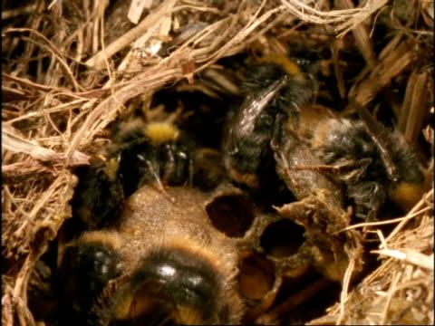 CU Female Bumble Bees (Bombus pratorum) protecting eggs in wax cells, England