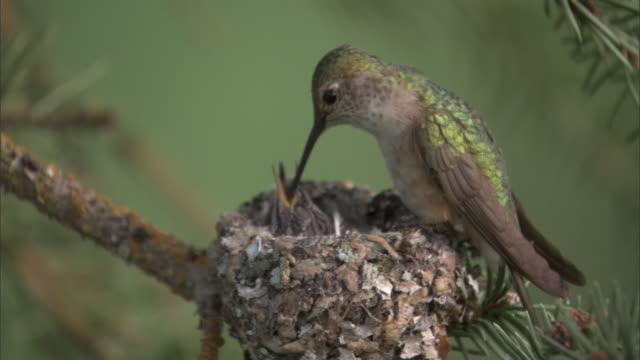 female calliope hummingbird (stellula calliope) feeds chicks in nest, yellowstone, usa - young bird stock videos & royalty-free footage