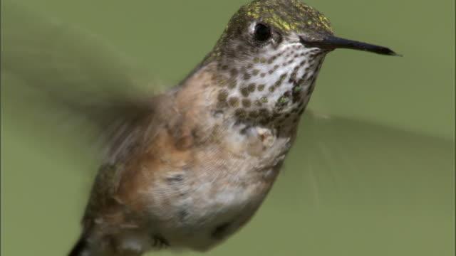 Female Calliope hummingbird (Stellula calliope) feeds on flower, Yellowstone, USA