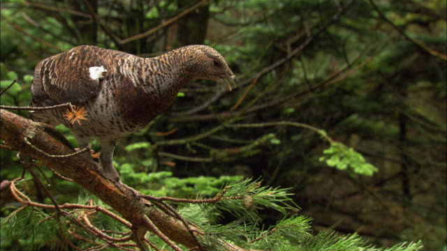 Female capercaillie (Tetrao urogallus) forages in pine forest, Scotland, UK