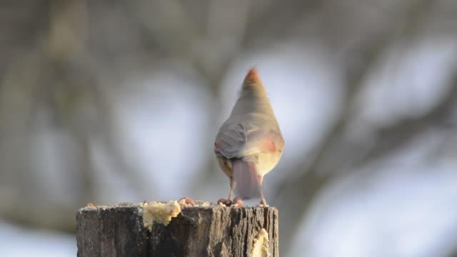 Female cardinal eating