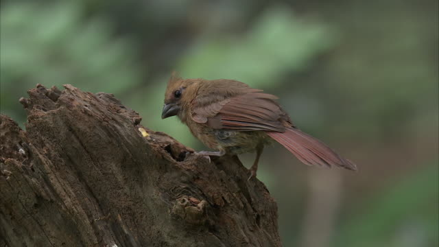 a female cardinal perches on a stump and pecks for food. - cricket stump stock videos & royalty-free footage