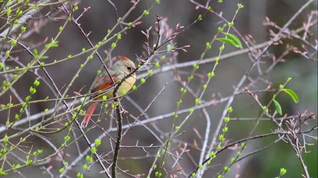 female cardinal sitting on twig of an early spring bush - twig stock videos & royalty-free footage