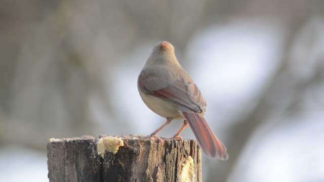 stockvideo's en b-roll-footage met female cardinals eating - boomstronk