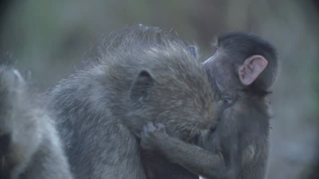 ms female chacma baboon (papio ursinus) playing with young baboon / kruger national park/ mpumalanga/ south africa - krüger nationalpark stock-videos und b-roll-filmmaterial