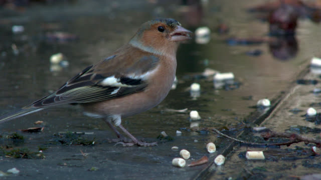 Female chaffinch feeding in Scottish woodland