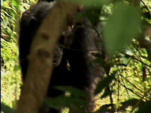 vídeos y material grabado en eventos de stock de cu, female chimp (pan troglodytes) carrying infant on back, gombe stream national park, tanzania - parque nacional de gombe stream