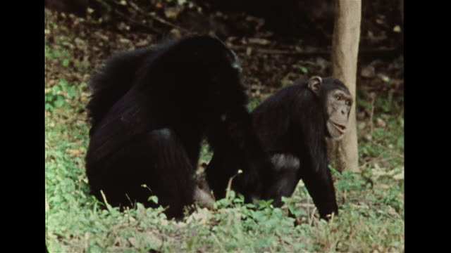 Female chimp gesturing w/ hand out to male then leaning forward in mating gesture male ignoring second male approaching she vocally crying out...