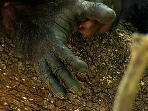 CU, TU, Female chimp (Pan troglodytes) grooming baby, close-up of hands, Gombe Stream National Park, Tanzania
