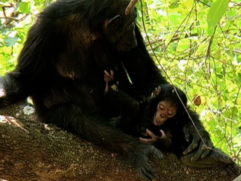 stockvideo's en b-roll-footage met ms, zi, cu, female chimp (pan troglodytes) grooming baby in forest, gombe stream national park, tanzania - dierenverzorging