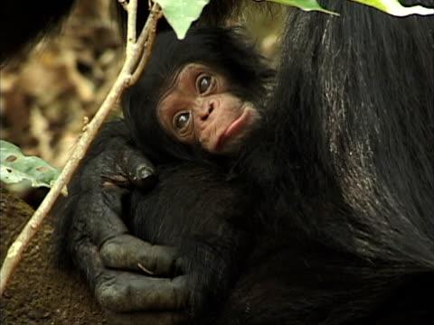 CU, Female chimp (Pan troglodytes) hugging infant, Gombe Stream National Park, Tanzania