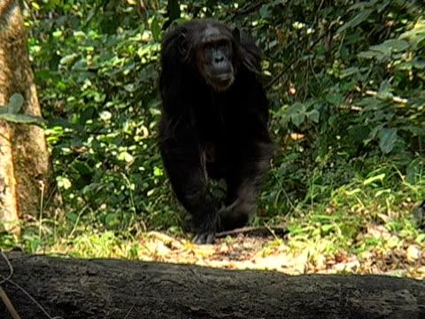 vídeos y material grabado en eventos de stock de ms, female chimp (pan troglodytes) with infant in forest, gombe stream national park, tanzania - parque nacional de gombe stream