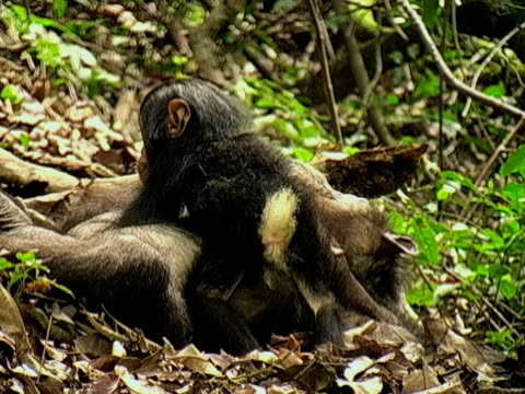 MS, ZI, CU, Female chimp (Pan troglodytes) with infant in forest, Gombe Stream National Park, Tanzania