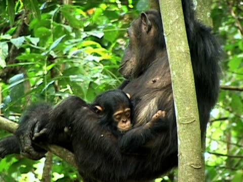MS, TD, Female chimp (Pan troglodytes) with infant on tree, Gombe Stream National Park, Tanzania