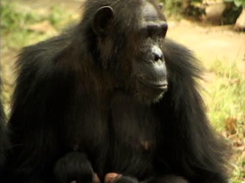 CU, TD, Female chimp (Pan troglodytes) with two infants, Gombe Stream National Park, Tanzania