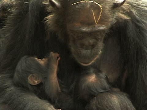 vidéos et rushes de cu, zo, ms, female chimp (pan troglodytes) with two infants, gombe stream national park, tanzania - chimpanzé