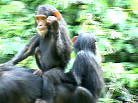 ms female chimpanzee carrying her two young twins on her back in gombe stream national park / tanzania - small group of animals stock videos & royalty-free footage